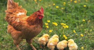 310x165 - БАБХ: Опасност от птичи грип