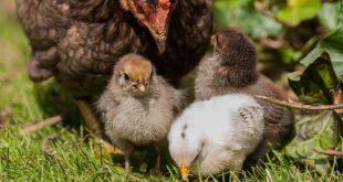 Кметовете на общините Пордим, Кнежа и Искър предупреждават стопаните как да предпазят домашните птици от зараза с птичи грип